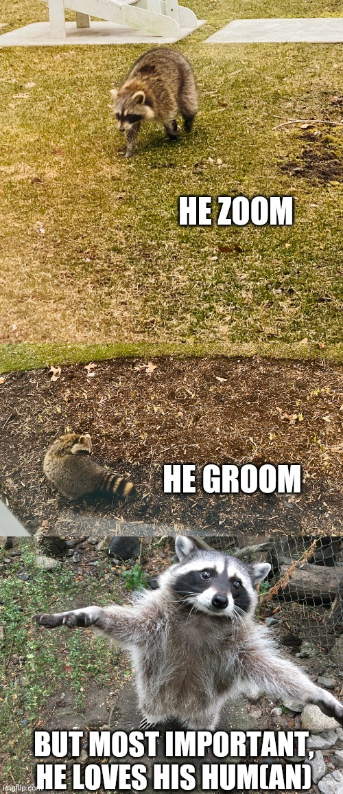 He zoom he groom | HE ZOOM HE GROOM BUT MOST IMPORTANT, HE LOVES HIS HUM(AN) | image tagged in raccoon,he protec he attac but most importantly,cute | made w/ Imgflip meme maker