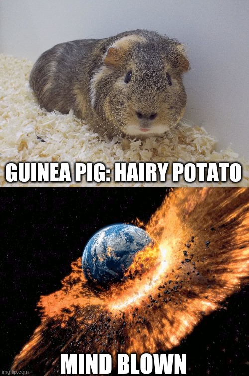 Hairy Potato |  GUINEA PIG: HAIRY POTATO; MIND BLOWN | image tagged in guinea pig,mind blown | made w/ Imgflip meme maker