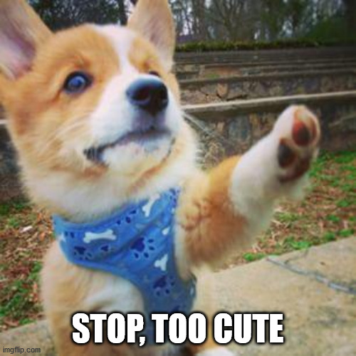 puppy corgi | STOP, TOO CUTE | image tagged in puppy corgi | made w/ Imgflip meme maker