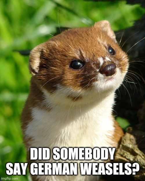 DID SOMEBODY SAY GERMAN WEASELS? | image tagged in weasel | made w/ Imgflip meme maker