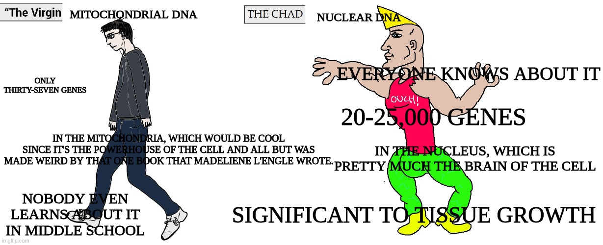 Virgin Mitochondrial DNA vs CHAD Nuclear DNA |  MITOCHONDRIAL DNA; NUCLEAR DNA; EVERYONE KNOWS ABOUT IT; ONLY THIRTY-SEVEN GENES; 20-25,000 GENES; IN THE MITOCHONDRIA, WHICH WOULD BE COOL SINCE IT'S THE POWERHOUSE OF THE CELL AND ALL BUT WAS MADE WEIRD BY THAT ONE BOOK THAT MADELIENE L'ENGLE WROTE. IN THE NUCLEUS, WHICH IS PRETTY MUCH THE BRAIN OF THE CELL; NOBODY EVEN LEARNS ABOUT IT IN MIDDLE SCHOOL; SIGNIFICANT TO TISSUE GROWTH | image tagged in virgin and chad,dna,science,biology,memes | made w/ Imgflip meme maker