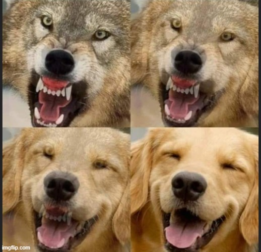 Wolf to Dog | image tagged in wolf to dog | made w/ Imgflip meme maker
