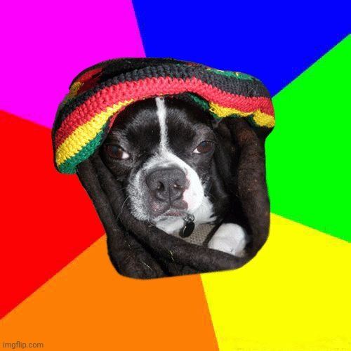 Rasta Dog | image tagged in boston terrier,rasta,jamaican,dog,ganja,dreads | made w/ Imgflip meme maker