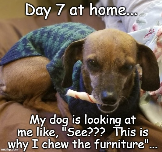 "Day 7... |  Day 7 at home... My dog is looking at me like, ""See???  This is why I chew the furniture""... 