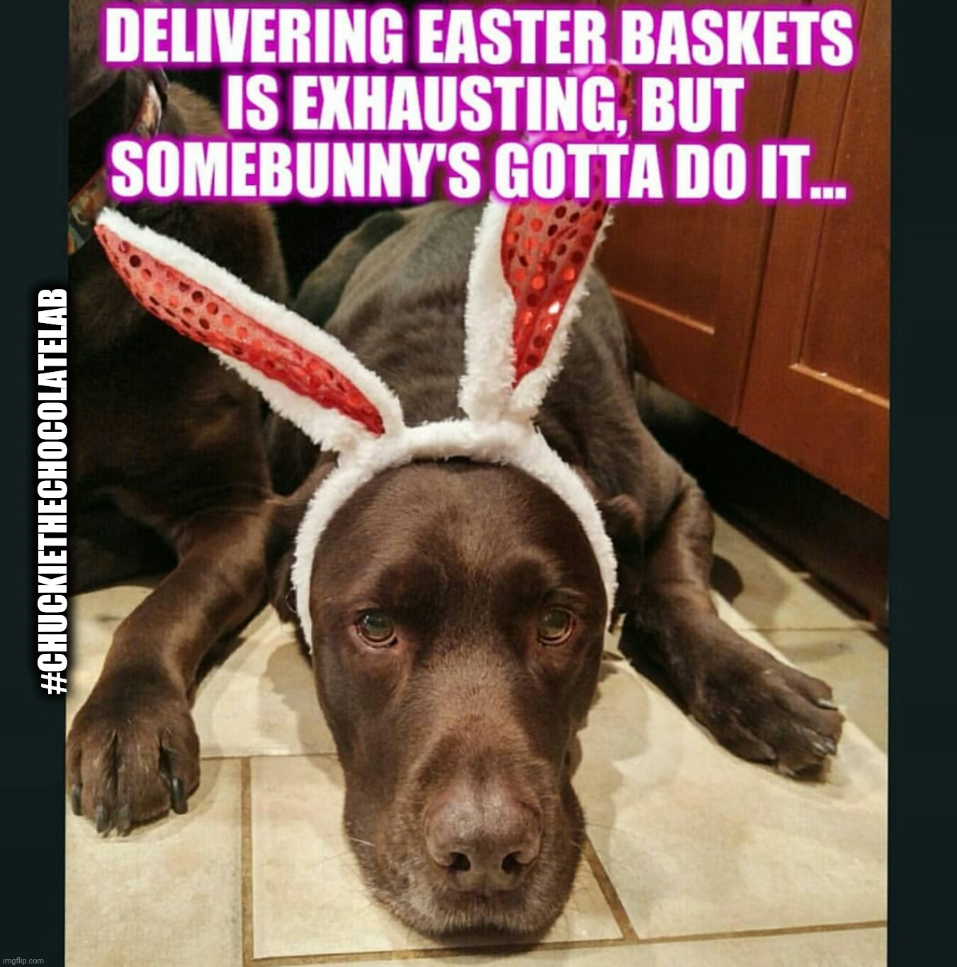 Easter Dog |  #CHUCKIETHECHOCOLATELAB | image tagged in chuckie the chocolate lab,easter,spring,dogs,funny,memes | made w/ Imgflip meme maker
