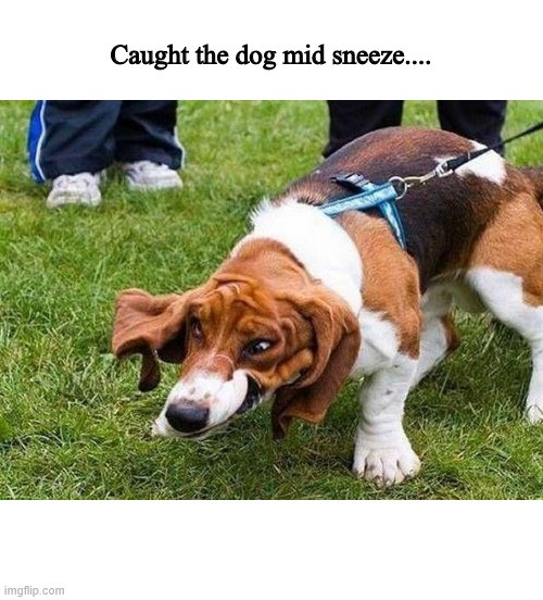 Dog mid sneeze |  Caught the dog mid sneeze.... | image tagged in dogs,funny dogs,dog memes | made w/ Imgflip meme maker