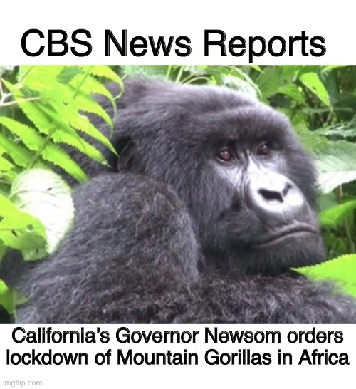 California's Governor Newsom Orders Lockdown of African Mountain Gorillas |  CBS News Reports; California's Governor Newsom orders lockdown of Mountain Gorillas in Africa | image tagged in gavin newsom,governor newsom,covid-19,coronavirus,made in china,memes | made w/ Imgflip meme maker
