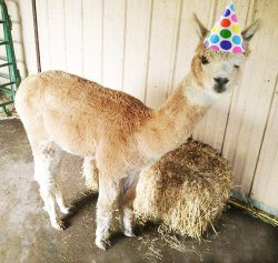 Alpaca Birthday Meme Template