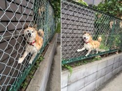 Doge Stuck On Fence Meme Template