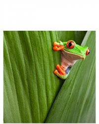 Frog peeking out from leaf Meme Template