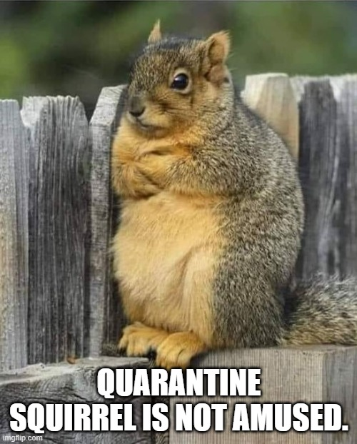 Squirrel |  QUARANTINE SQUIRREL IS NOT AMUSED. | image tagged in squirrel,quarantine,funny | made w/ Imgflip meme maker