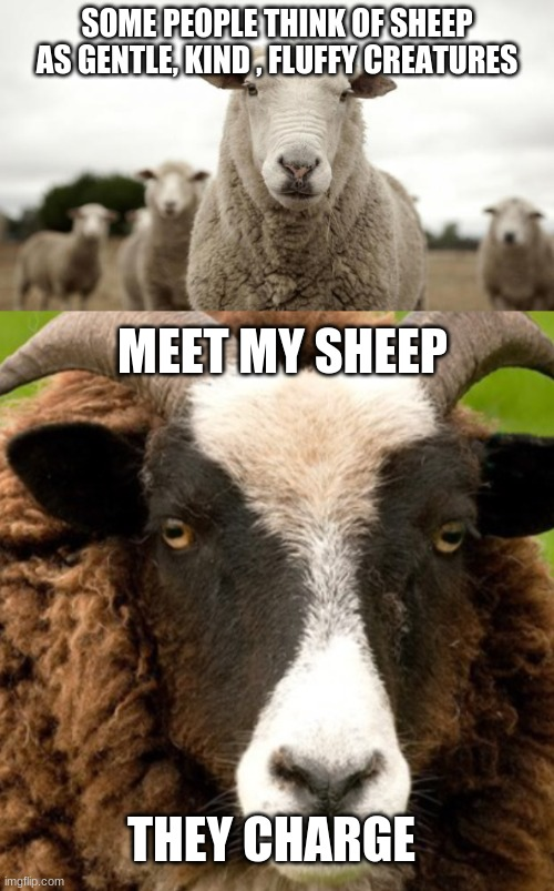 horns..... |  SOME PEOPLE THINK OF SHEEP AS GENTLE, KIND , FLUFFY CREATURES; MEET MY SHEEP; THEY CHARGE | image tagged in sheep,scary,stupid | made w/ Imgflip meme maker