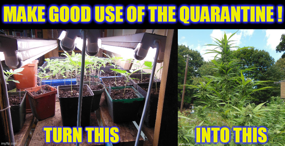With all the extra time, during this self-quarantine, you CAN grow the best Marijuana, ever! |  MAKE GOOD USE OF THE QUARANTINE ! TURN THIS | image tagged in marijuana,good times,quarantine,coronavirus,gardening,medical marijuana | made w/ Imgflip meme maker