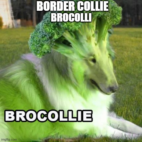 BROCOLLIE |  BORDER COLLIE; BROCOLLI | image tagged in memes,funny,dogs,brocolli | made w/ Imgflip meme maker