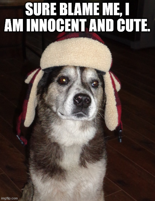 hunting dog | SURE BLAME ME, I AM INNOCENT AND CUTE. | image tagged in hunting dog | made w/ Imgflip meme maker