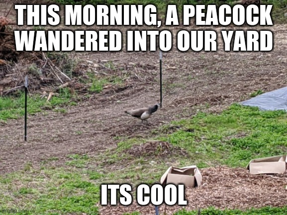 NO JOKE |  THIS MORNING, A PEACOCK WANDERED INTO OUR YARD; ITS COOL | image tagged in peacock,i have no idea what i am doing,yolo | made w/ Imgflip meme maker