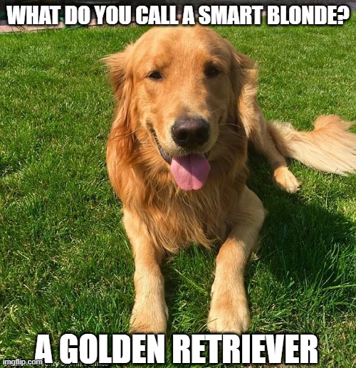 Yep, the Smartest |  WHAT DO YOU CALL A SMART BLONDE? A GOLDEN RETRIEVER | image tagged in golden retriever | made w/ Imgflip meme maker