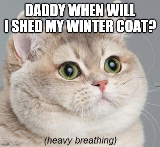 Heavy Breathing Cat |  DADDY WHEN WILL I SHED MY WINTER COAT? | image tagged in memes,heavy breathing cat | made w/ Imgflip meme maker