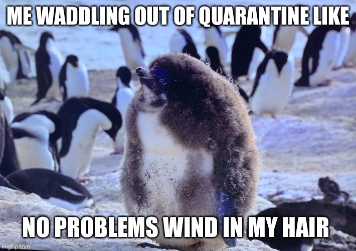 Quarantine Penguin |  ME WADDLING OUT OF QUARANTINE LIKE; NO PROBLEMS WIND IN MY HAIR | image tagged in quarantine,self quarantine,penguin,socially awkward penguin,cute animals,funny memes | made w/ Imgflip meme maker