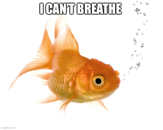 Bad Memory Goldfish |  I CAN'T BREATHE | image tagged in goldfish,fish,blm,breathe,i cant breathe,meme | made w/ Imgflip meme maker
