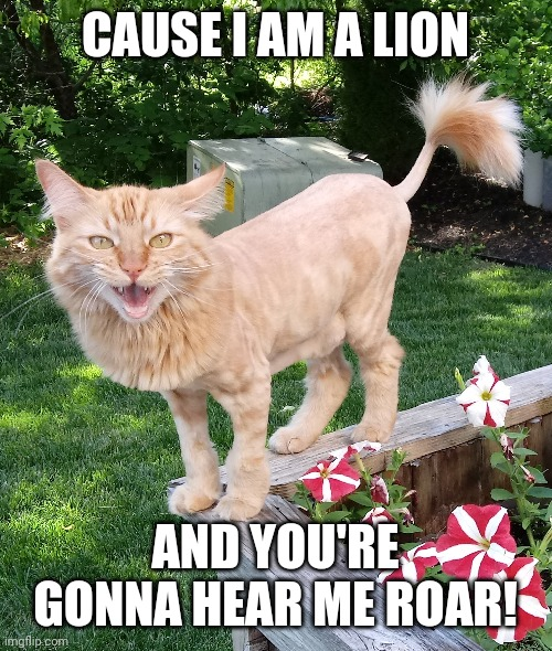 I am a lion |  CAUSE I AM A LION; AND YOU'RE GONNA HEAR ME ROAR! | image tagged in cat lion named pumpkin | made w/ Imgflip meme maker