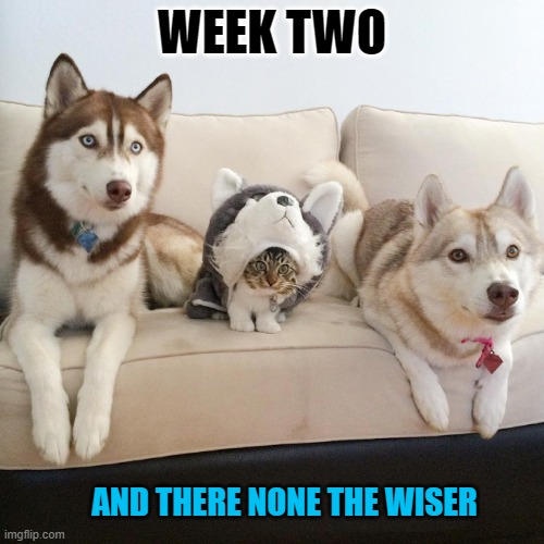 incognito |  WEEK TWO; AND THERE NONE THE WISER | image tagged in husky,kitten | made w/ Imgflip meme maker