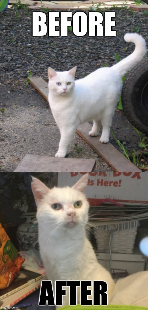Before and After Cat |  BEFORE; AFTER | image tagged in cat,memes,before and after | made w/ Imgflip meme maker