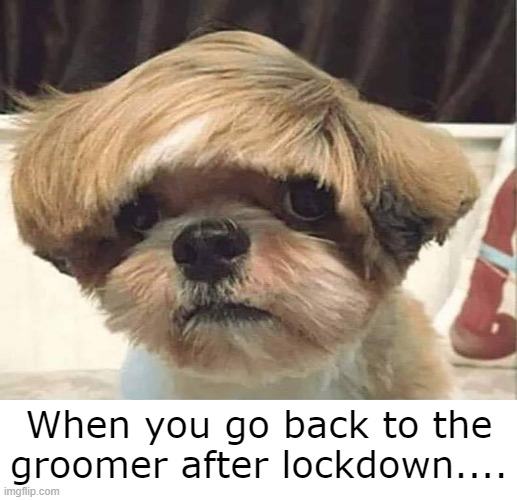 Bad Haircut |  When you go back to the groomer after lockdown.... | image tagged in dogs,cute dogs | made w/ Imgflip meme maker