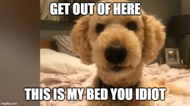 when your dog takes over |  GET OUT OF HERE; THIS IS MY BED YOU IDIOT | image tagged in funny dog memes,cute dog | made w/ Imgflip meme maker