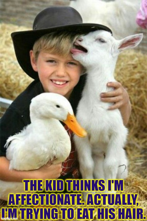 After the hair, I'm gonna eat his hat. |  THE KID THINKS I'M AFFECTIONATE. ACTUALLY, I'M TRYING TO EAT HIS HAIR. | image tagged in vince vance,goat,duck,cute kids,memes,farm | made w/ Imgflip meme maker