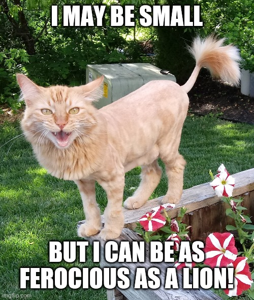 Ferocious as a lion |  I MAY BE SMALL; BUT I CAN BE AS FEROCIOUS AS A LION! | image tagged in cat lion named pumpkin,cat lion,lion cat | made w/ Imgflip meme maker