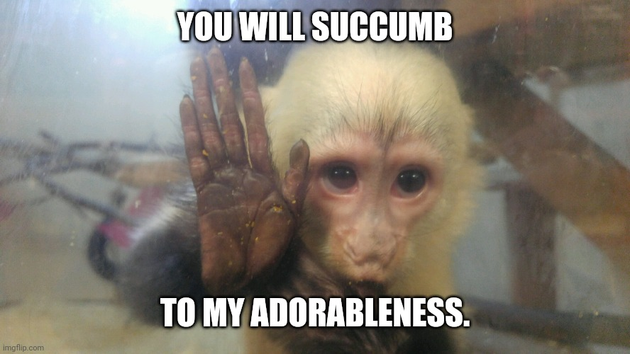 Monkey Business |  YOU WILL SUCCUMB; TO MY ADORABLENESS. | image tagged in monkey | made w/ Imgflip meme maker