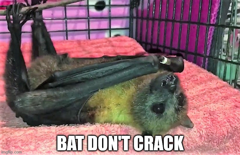 Sir Walter of New South Wales |  BAT DON'T CRACK | image tagged in animals,bats,senior,cute,black don't crack,australia | made w/ Imgflip meme maker