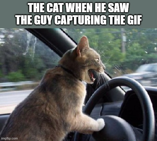 cat driving car | THE CAT WHEN HE SAW THE GUY CAPTURING THE GIF | image tagged in cat driving car | made w/ Imgflip meme maker