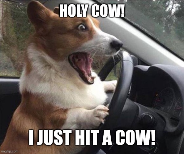 HOLY COW! |  HOLY COW! I JUST HIT A COW! | image tagged in dog driving,memes | made w/ Imgflip meme maker