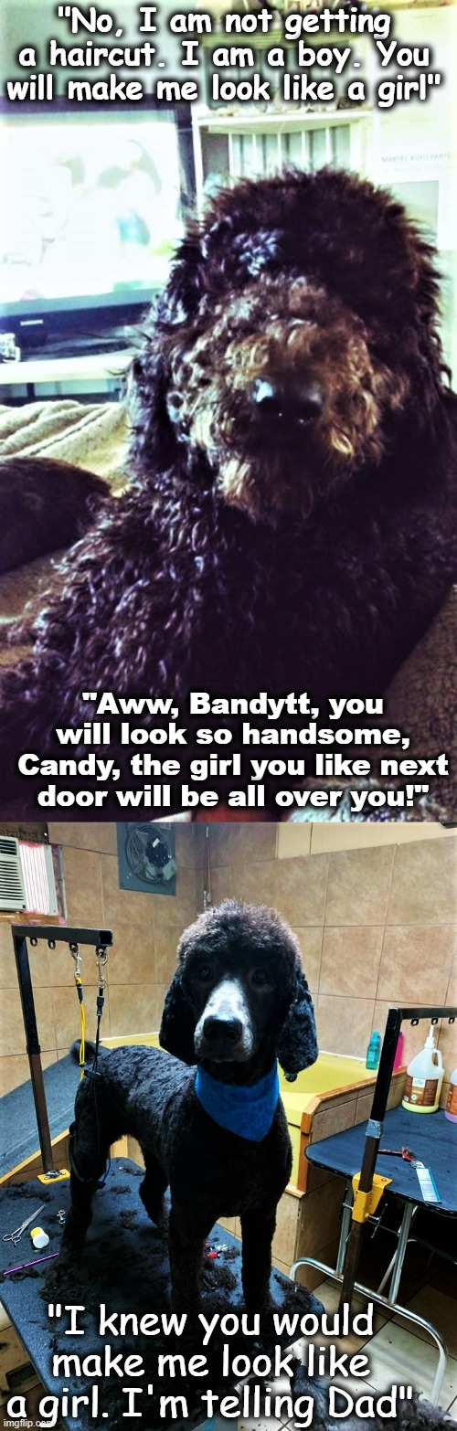 "Bandytt |  ""No, I am not getting a haircut. I am a boy. You will make me look like a girl""; ""Aww, Bandytt, you will look so handsome, Candy, the girl you like next door will be all over you!""; ""I knew you would make me look like a girl. I'm telling Dad"" 