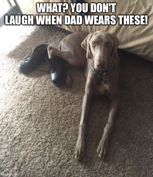 Weimaraner shoes |  WHAT? YOU DON'T LAUGH WHEN DAD WEARS THESE! | image tagged in weimaraner,funny,dog,shoes | made w/ Imgflip meme maker