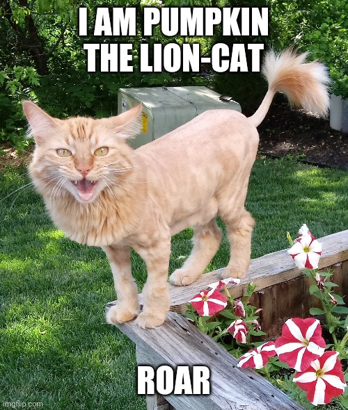 Pumpkin the Lion-Cat |  I AM PUMPKIN THE LION-CAT; ROAR | image tagged in cat lion named pumpkin,pumpkin,lion,cat,cute,kitten | made w/ Imgflip meme maker