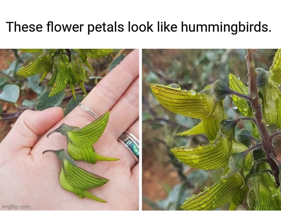 These flower petals look like hummingbirds. |  These flower petals look like hummingbirds. | image tagged in flowers,funny,memes,meme,birds,blank white template | made w/ Imgflip meme maker