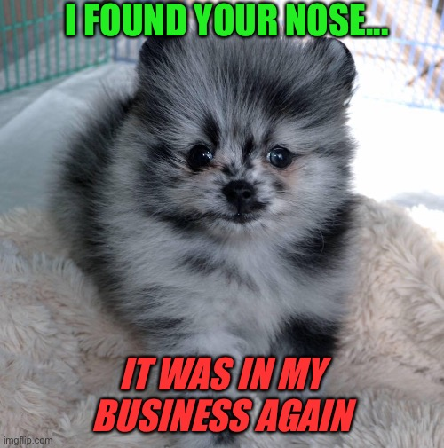 Nosy |  I FOUND YOUR NOSE... IT WAS IN MY BUSINESS AGAIN | image tagged in pomeranian,cute puppy,funny | made w/ Imgflip meme maker
