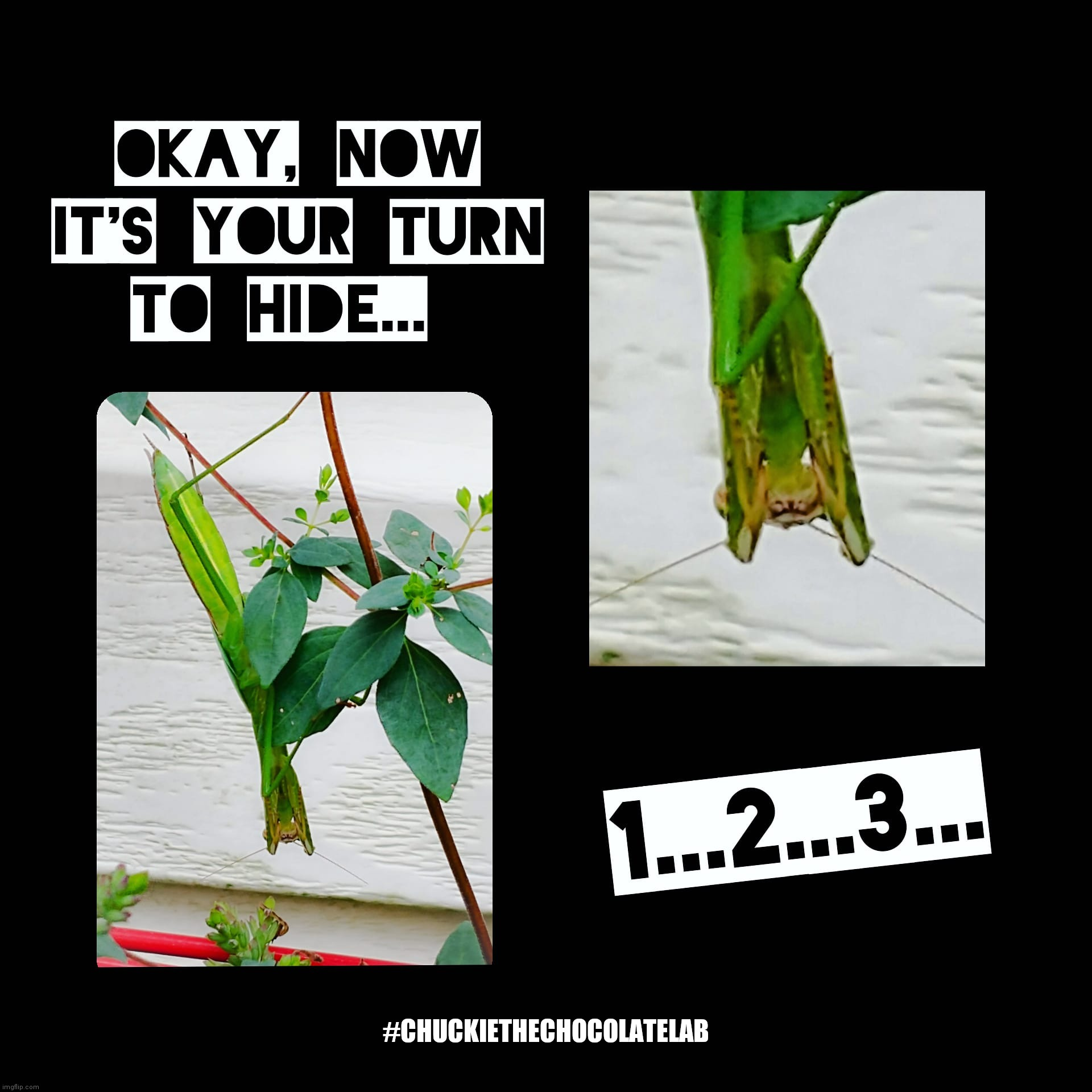 Hide and seek cheat |  #CHUCKIETHECHOCOLATELAB | image tagged in hide and seek,cheater,praying mantis,funny,memes,insect | made w/ Imgflip meme maker