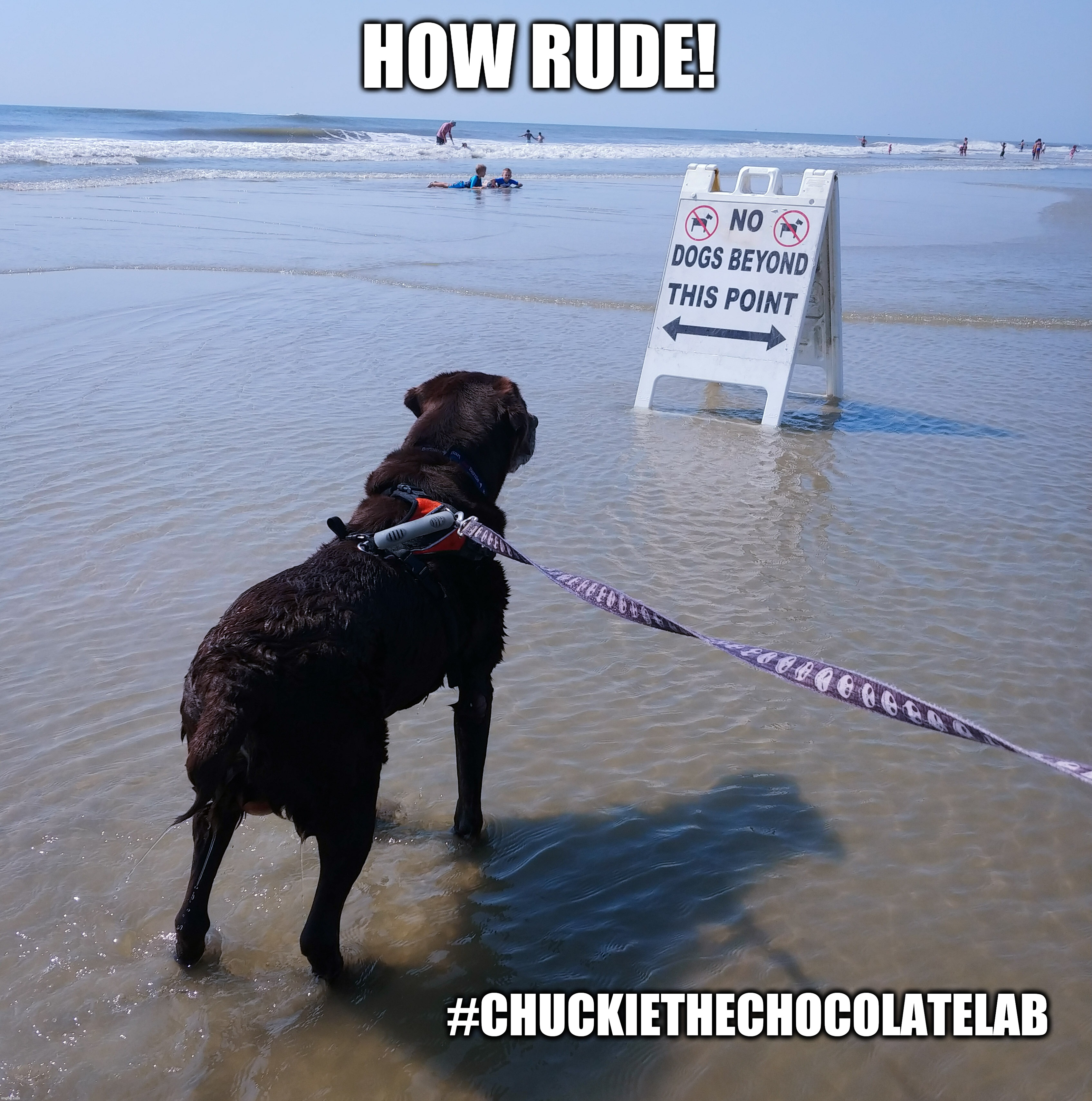 How rude! |  HOW RUDE! #CHUCKIETHECHOCOLATELAB | image tagged in chuckie the chocolate lab,how rude,beach,dogs,funny,memes | made w/ Imgflip meme maker