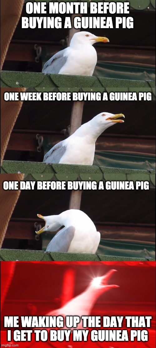 buying a guinea pig |  ONE MONTH BEFORE BUYING A GUINEA PIG; ONE WEEK BEFORE BUYING A GUINEA PIG; ONE DAY BEFORE BUYING A GUINEA PIG; ME WAKING UP THE DAY THAT I GET TO BUY MY GUINEA PIG | image tagged in memes,inhaling seagull,guinea pig | made w/ Imgflip meme maker