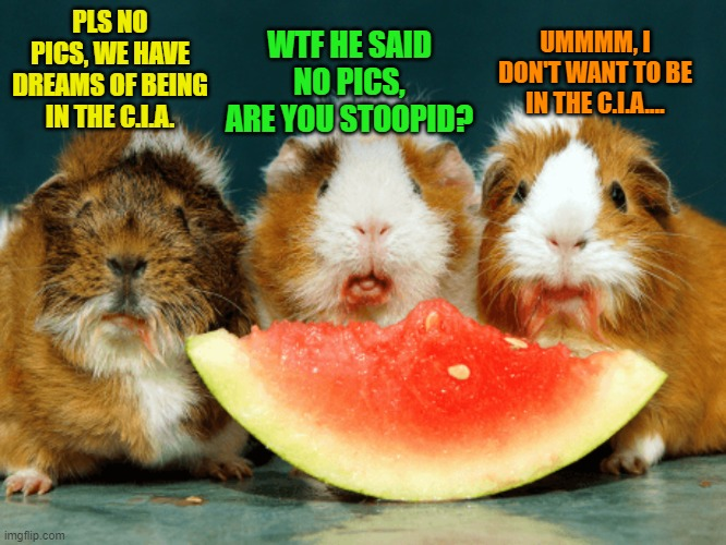 Random Thoughts of Guinea Pigs Eating Watermelon |  WTF HE SAID NO PICS, ARE YOU STOOPID? UMMMM, I DON'T WANT TO BE IN THE C.I.A.... PLS NO PICS, WE HAVE DREAMS OF BEING IN THE C.I.A. | image tagged in guinea pig,watermelon | made w/ Imgflip meme maker