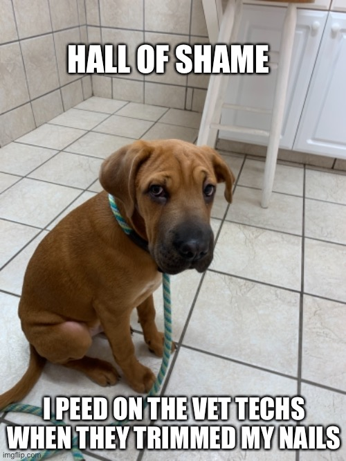 Dog shaming |  HALL OF SHAME; I PEED ON THE VET TECHS WHEN THEY TRIMMED MY NAILS | image tagged in dog memes,funny dog memes | made w/ Imgflip meme maker