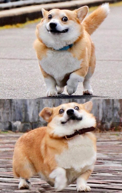 Regret corgi | image tagged in corgi,regret,regret corgi | made w/ Imgflip meme maker