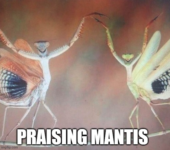 Not Quite Praying |  PRAISING MANTIS | image tagged in mantis,praying mantis,praise | made w/ Imgflip meme maker