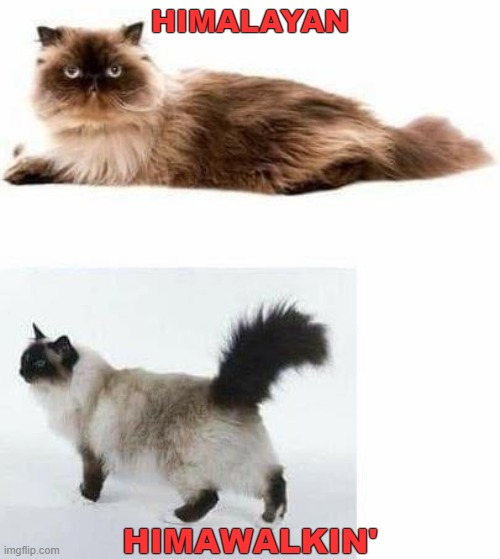 Know The Difference |  HIMALAYAN; HIMAWALKIN' | image tagged in funny cat memes | made w/ Imgflip meme maker