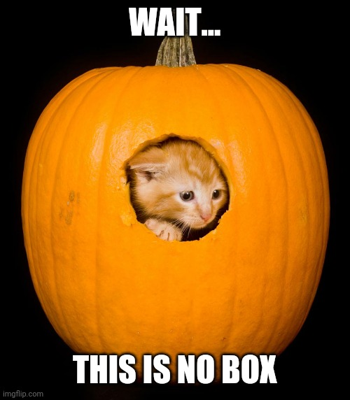 IT'S WET TOO |  WAIT... THIS IS NO BOX | image tagged in cats,funny cats,pumpkin,spooktober | made w/ Imgflip meme maker