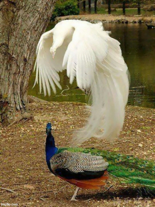 Peacocks | image tagged in bird memes,birds,peacocks | made w/ Imgflip meme maker